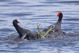 Common Gallinules scuffling at Cattail Marsh by Dana Nelson