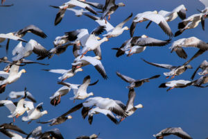 Snow Geese in Port Arthur by Pedro Arrechea