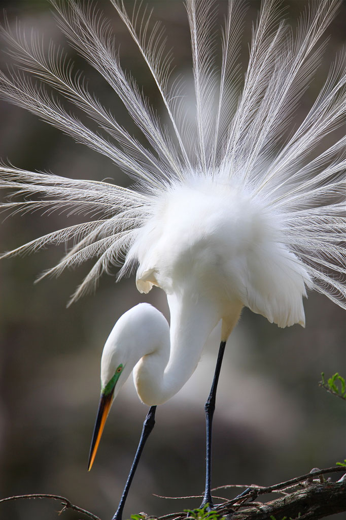 Great Egret at Shangri La by Dana Nelson