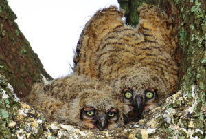 Great Horned Owls in Sabine Pass by Dana Nelson