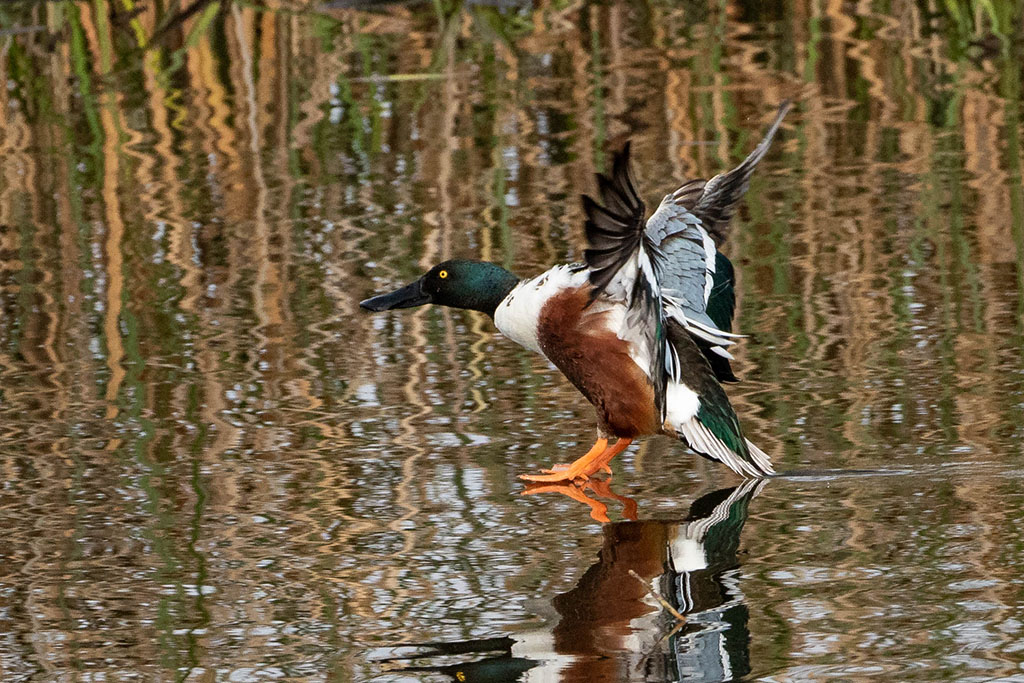Northern Shoveler at Cattail Marsh by Michael Cooper