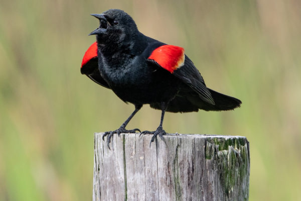 Red Winged Blackbird by Michael Cooper